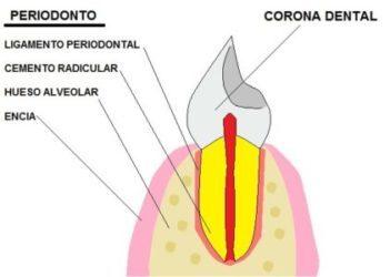 partes del pariodonto: encia, ligamento periodontal, cemento radicular, hueso alveolar.
