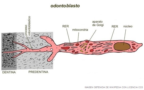 imagen de un odontoblasto