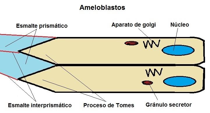 imagen de estructura de los ameloblastos