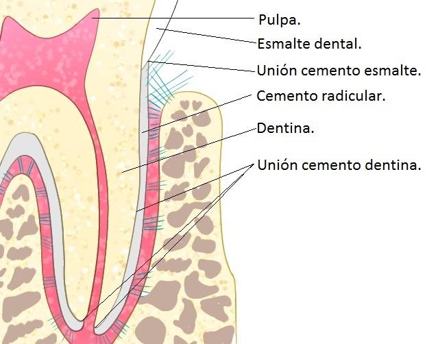 Cemento radicular y uniones-partes del diente hr-dental